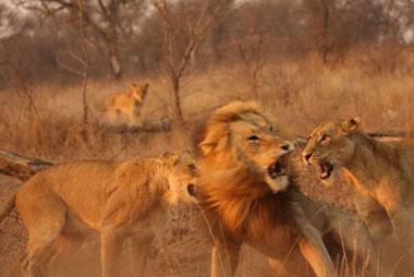 lion-fight_1842
